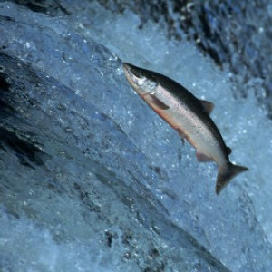 The Salmon Cannon: Migration Tool for Hydroelectric Dams
